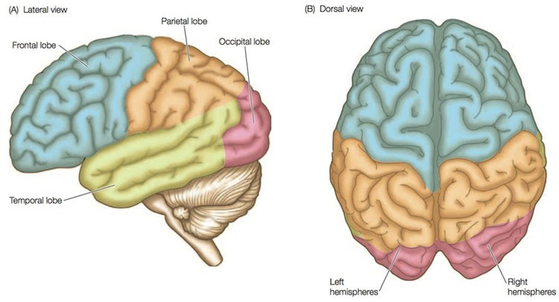 Structures Of The Brain Enkiverywell