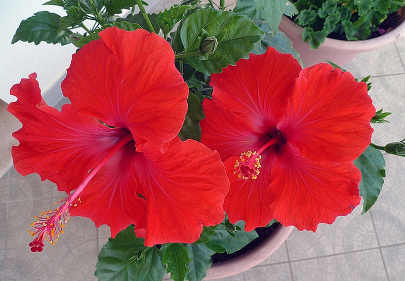 Tips on Hibiscus Care  EnkiVeryWell
