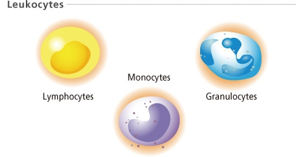 What Is Immature Granulocytes And Ig Count Enkiverywell