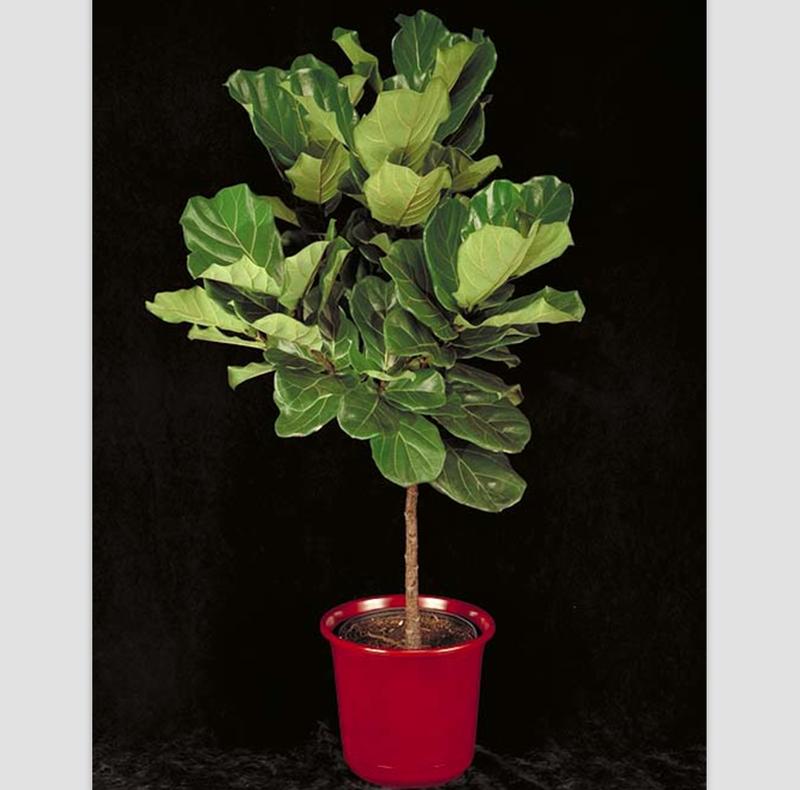 fiddle leaf fig tree basics
