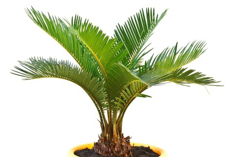 how to grow and indoor palm trees